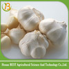 China organic fresh garlic at competive price