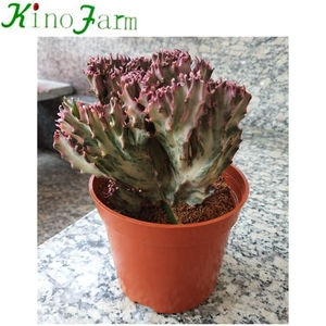 Hot Sell Cactus Plant