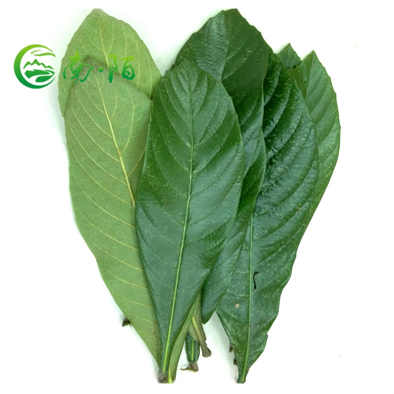 Healthy Detox Tea Raw Material Loquat Leaves From China Factory