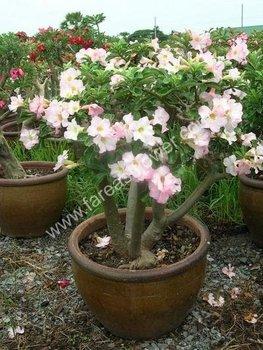 Nursery Plant Adenium Thailand