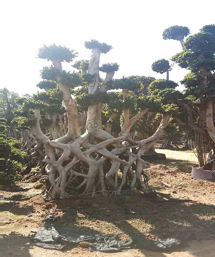 Ficus Microcarpa Net Shape Big Bonsai Trees For Outdoor Buy Ficus Microcarpa Big Ficus Bonsai Large Outdoor Bonsai Trees Product On Alibaba Com