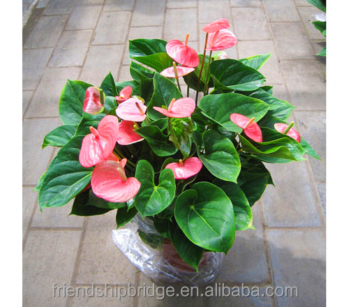 Unique Pink Anthurium Andraeanum Plants, Tailflower