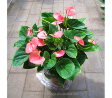 अनोखा गुलाबी <span class=keywords><strong>Anthurium</strong></span> Andraeanum पौधों, Tailflower