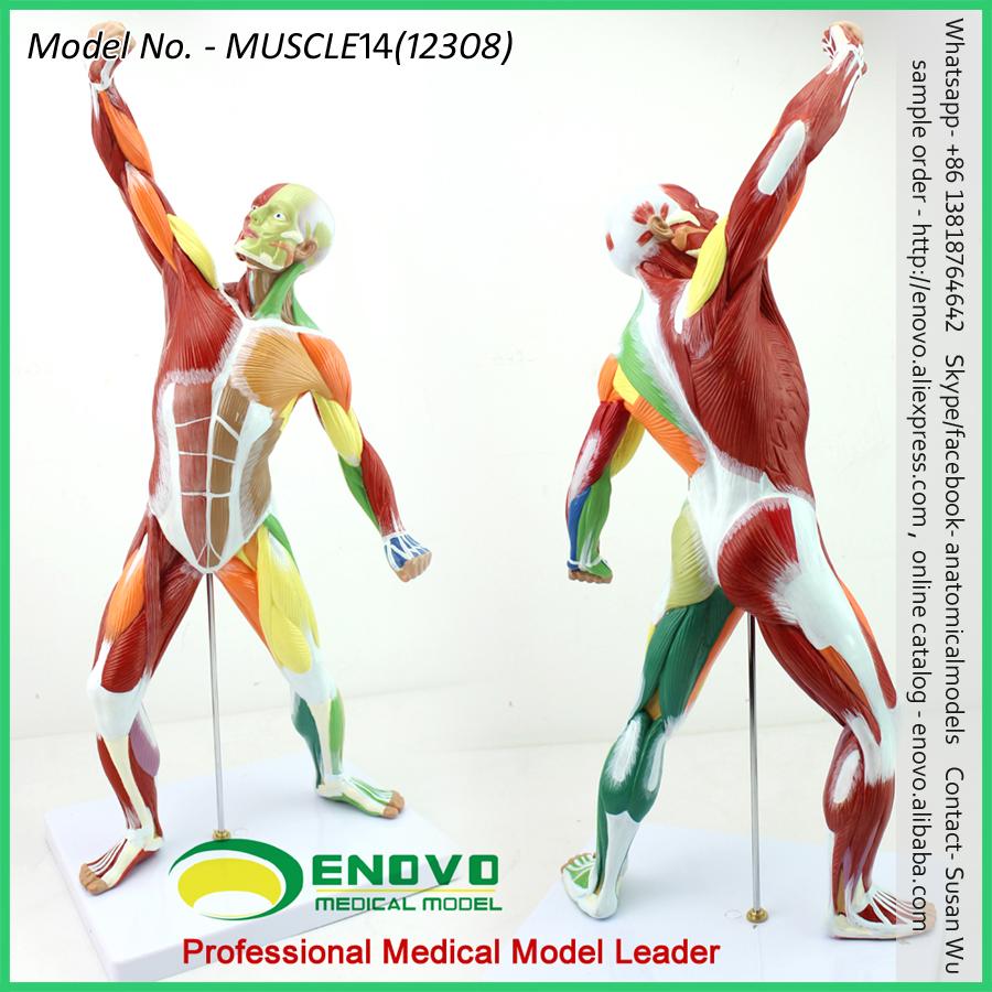 Venta 12308 anatomía médica color pintado modelo humano, músculo ...