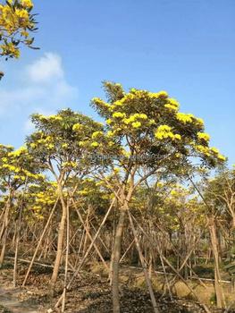 Small medium large yellow flower tabebuia chrysantha outdoor trees small medium large yellow flower tabebuia chrysantha outdoor trees mightylinksfo