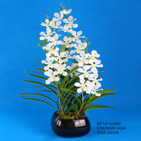 Large cream delicate vanda orchids plants with 3 different height stalks