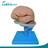 15 Parts Deluxe Human Brain Model, Brain Anatomical model