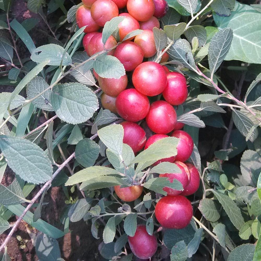 Foto Di Alberi Da Frutto 2019 shanghai herbary fornire diversi tipi di semi di alberi