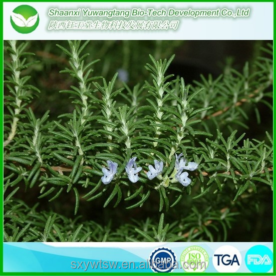 Pure and alibaba wholesale hot selling rosemary essential oil/dried rosemary leaves