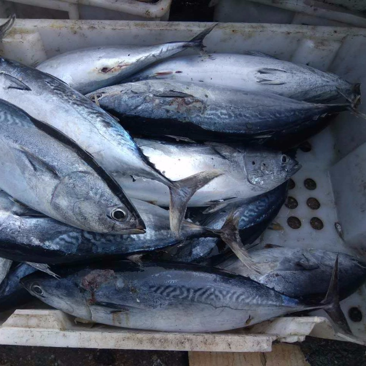 Frozen bonito tuna WR or HGT for sale in the best price