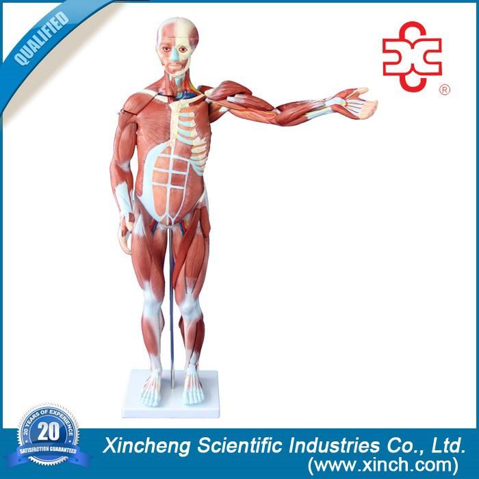 27 piezas ) para hombre músculo humano modelo de anatomía modelo ...