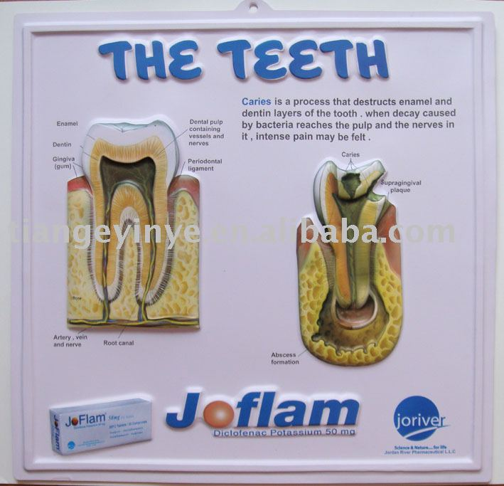Custom Printing Embossed Anatomical Chart (The Teeth)