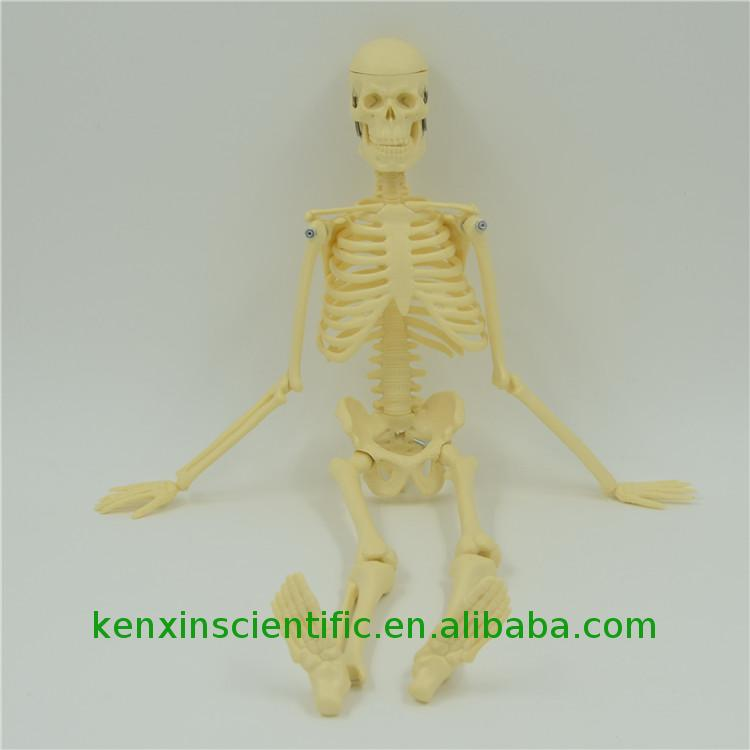 Brand new technology PNT-0107 foot skeleton model photo