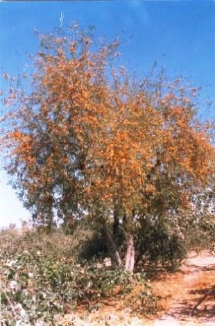 Tecomella Undulata Seeds,Roheda,Honey Tree,Desert Teak,Marwar Teak ...