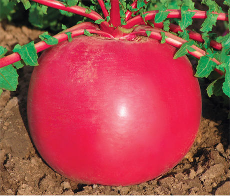 high yield vegetable seeds big white red green radish seed for sale