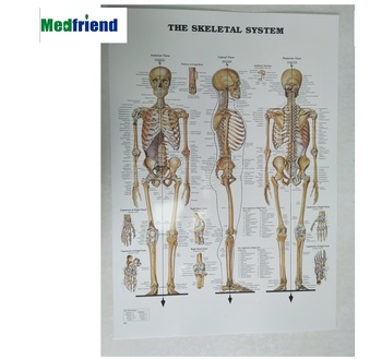 Licensed Laminated Paper Medical Anatomical Wall Chart /Poster -The Muscular System or other themes