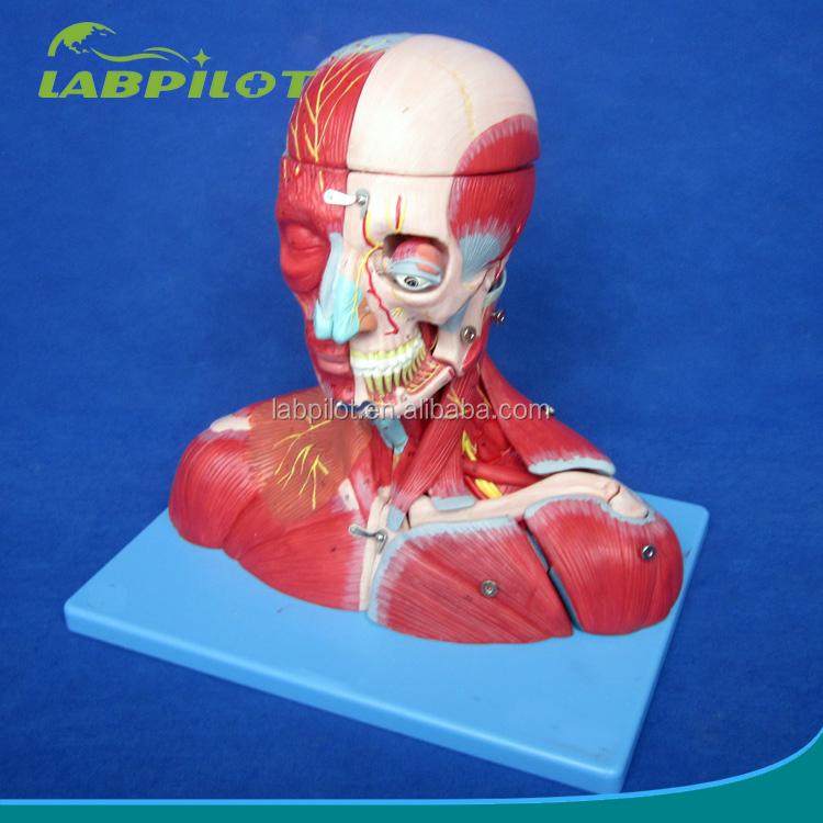 Venta al por mayor anatomia cuello-Compre online los mejores ...