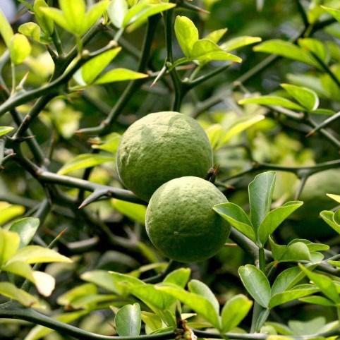 Whole sale Citrus Aurantium Extract pure natural/ organic Citrus Aurantium Extract in bulk