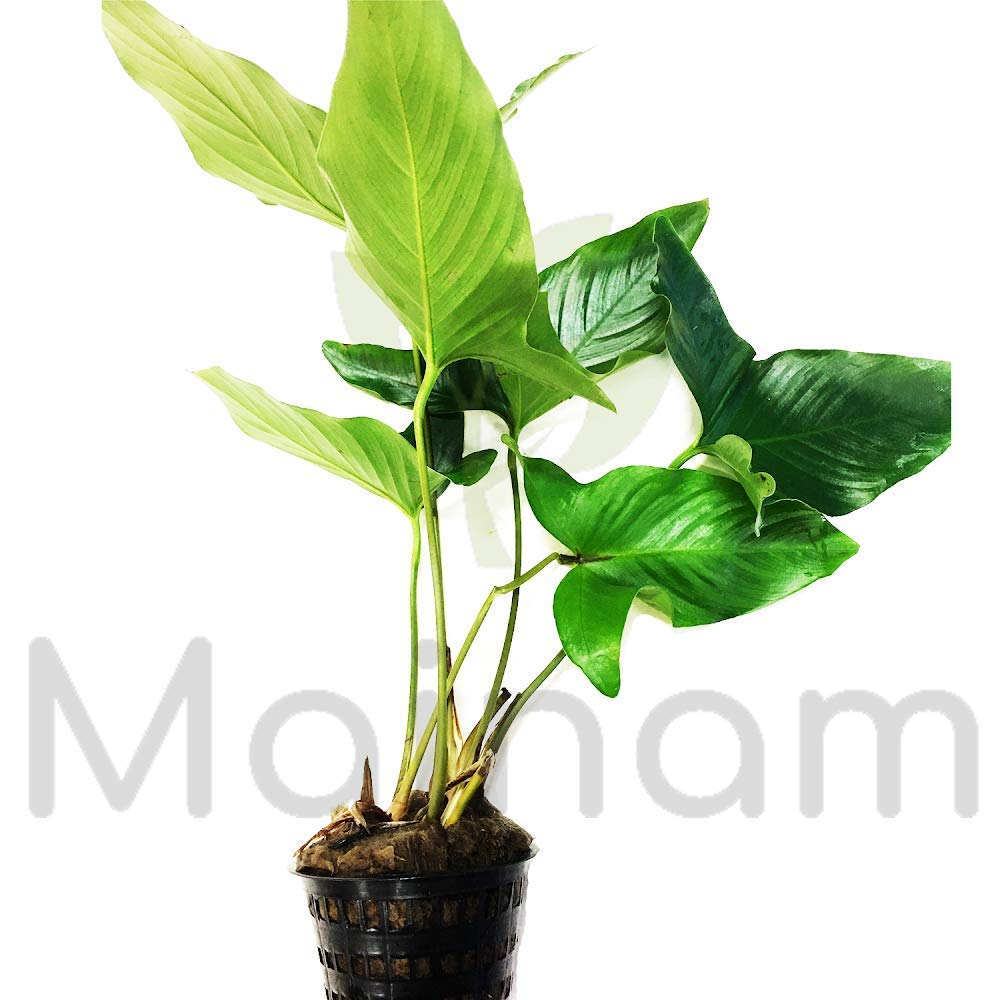 Anubias Heterophylla Freshwater Live Aquarium Plants Loose | Potted | Mature Potted By Mainam