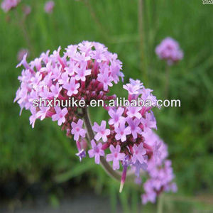 Blue Vervain, Blue Vervain Suppliers and Manufacturers at