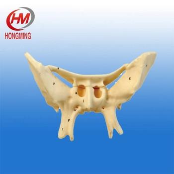 gd/a11120 amplified sphenoid bone model 2 times sphenoid bone, Human body