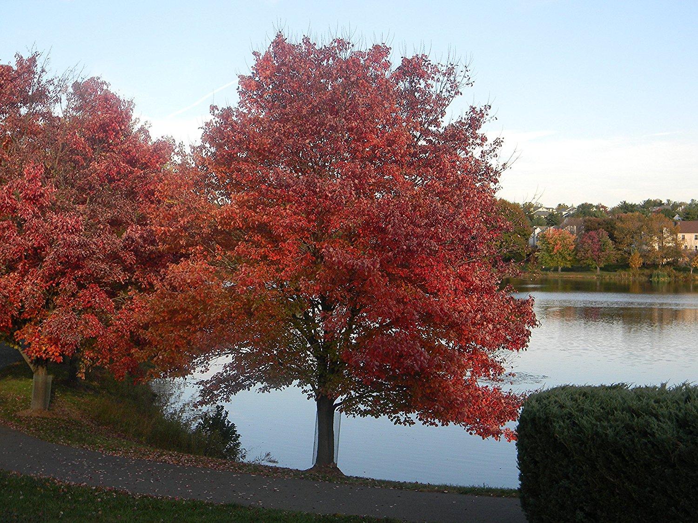 Red Maple Tree Growing Kit