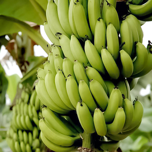 Philippines fresh cavendish bananas plant in Davao