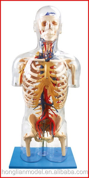 GD/A10005 Transparent Torso with Main Neural and Vascular Structures(Anatomical Model)