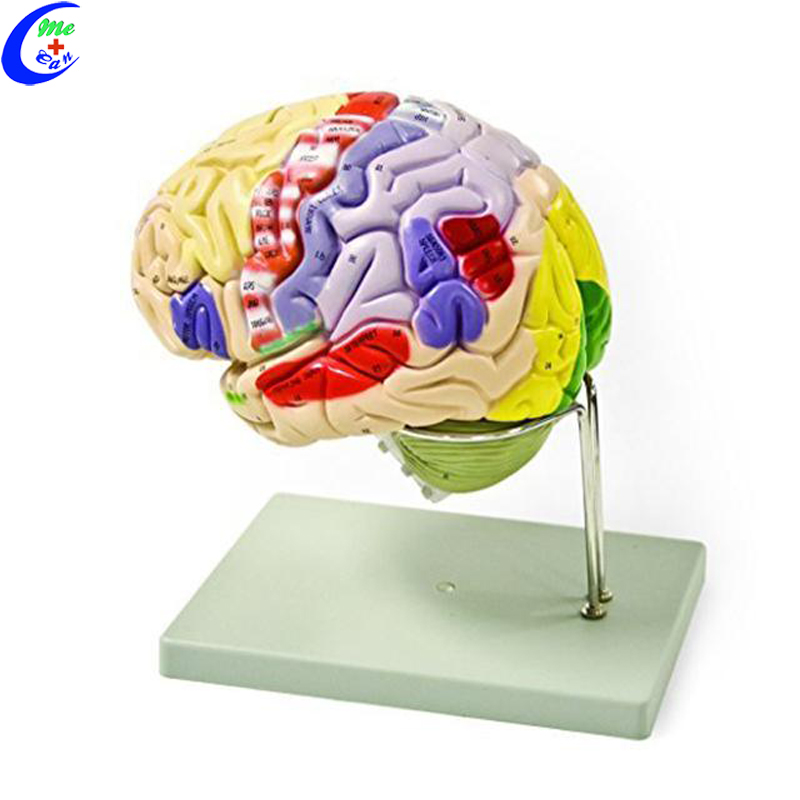 Human Plastic Brain 3D <strong>Model</strong>