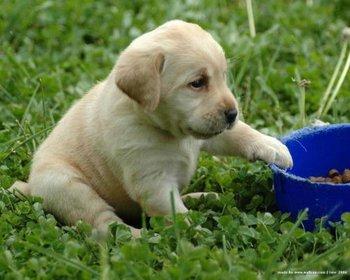 Labrador Retriever Puppies Puppy