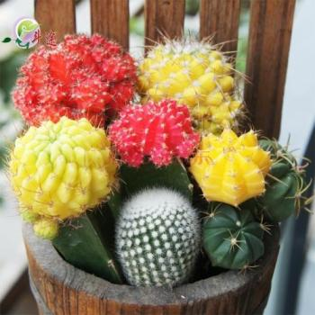 Color Grafted Cactus