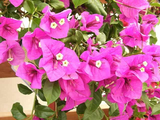 Bougainvillea Glabra Seeds For Growing Buy Bougainvillea Glabra