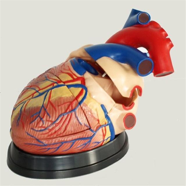 Anatomia Modelo De Estrutura De órgãos Do Corpo Humano 4 Vezes Coração Buy Modelo De Coração 4 Vezes Coração Anatômico 4 Vezes Modelo Anatômico