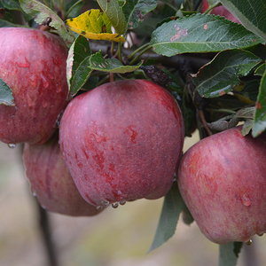 Wholesale Apple Fruit / Apple Fruit Fresh / Wholesale Prices Apple Fruit