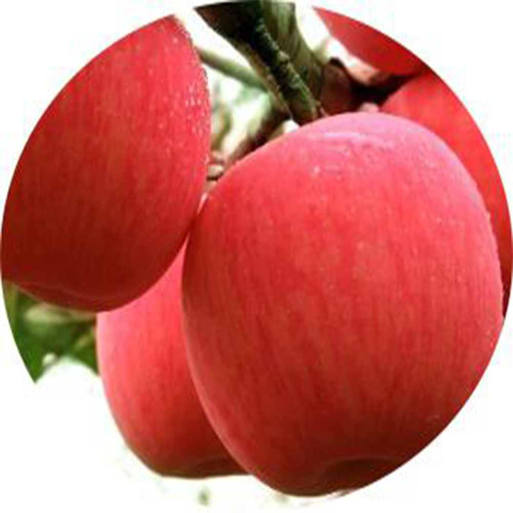 fresh fuji <strong>apple</strong> export to Dubai ,Philippines , Russia ,other countries