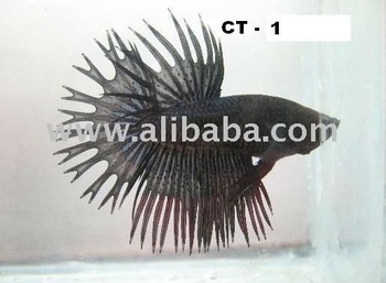 Black Orchid Crowntail Betta Buy Crowntail Betta Product On