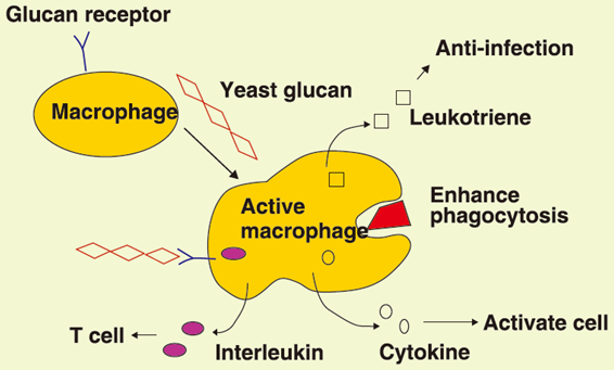 Soluble Yeast Beta Glucans as pharmaceutical immune polysaccharides and anti radiation