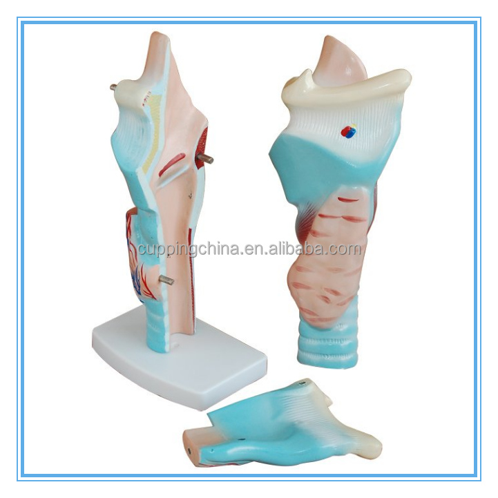 Medical Anatomy Type Magnified Human Larynx Joint Simulation Model