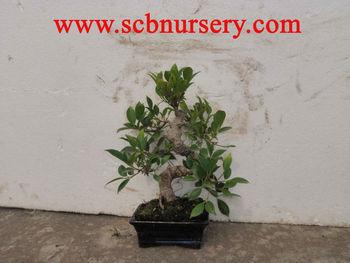 Ficus Bonsai Nursery Plant Supplier Buy Bonsai Ficus Plant Supplier Product On Alibaba Com
