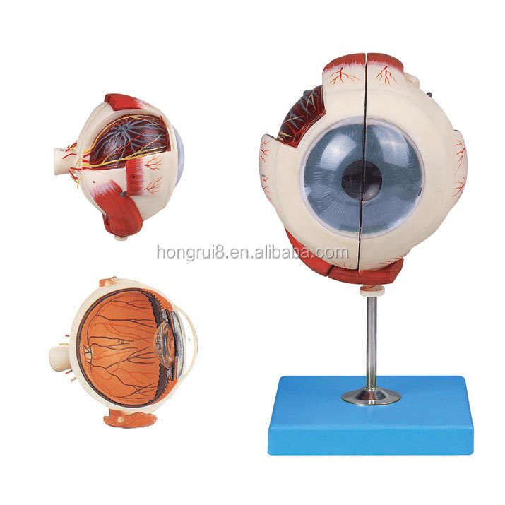 Venta Caliente Globo Ocular Y Órbita Con Vasos Sanguíneos Y Nervios ...