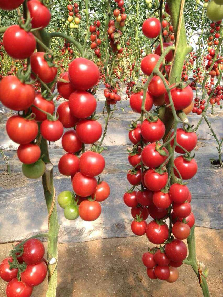 Hybrid high density fruits setting round red cherry tomato for How to grow cherry tomatoes from seeds