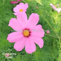 Flower Cosmos bipinnatus Seed
