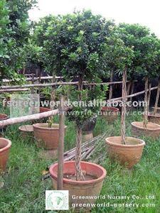 Aglaia Odorata Wholesale, Home Suppliers - Alibaba