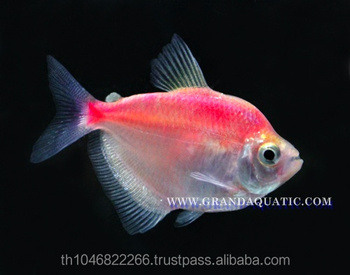 White Skirt Tetras Fish Farm For Sale And Export