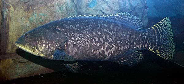 Giant Grouper Fish | Giant Grouper Fish Giant Grouper Fish Suppliers And Manufacturers