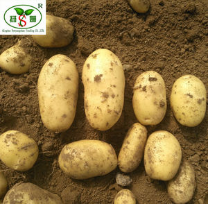 (HOT) Holland Seed Potato Favored by Importers