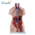 Advanced PVC Human Body Anatomy Torso Anatomical Human Model 85CM Unisex 40 Parts  For Teaching
