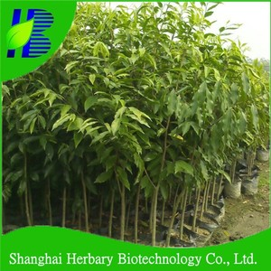 2018 Fresh Bulk Agarwood tree seeds with highest germination rate