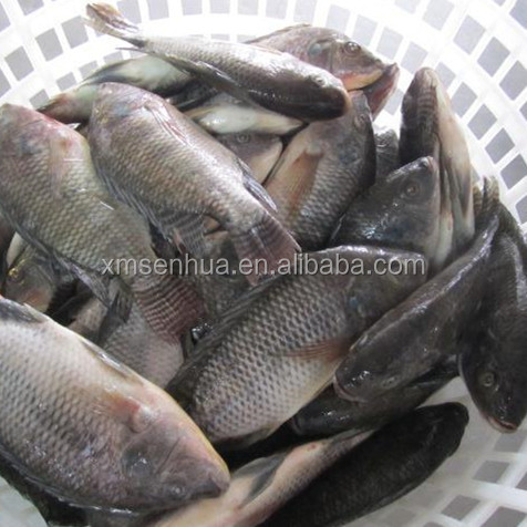 Frozen Whole Tilapia Fish Farm Raised Tilapia In China