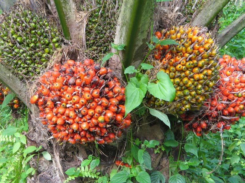 Cpo,Rbd Palm Olein,Rbd Pal Oil,Palm Kernel Shell,Palm Kernel Cakes ...
